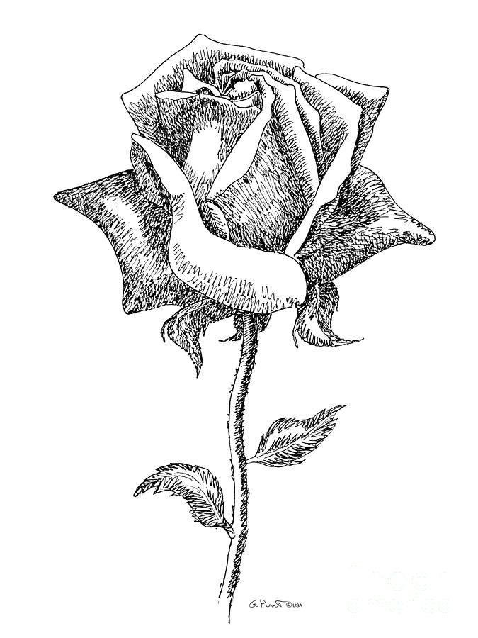 Black and white rose pics rose drawings black white 5 drawing black and white rose pics rose drawings black white 5 drawing rose drawings black white 5 fine mightylinksfo