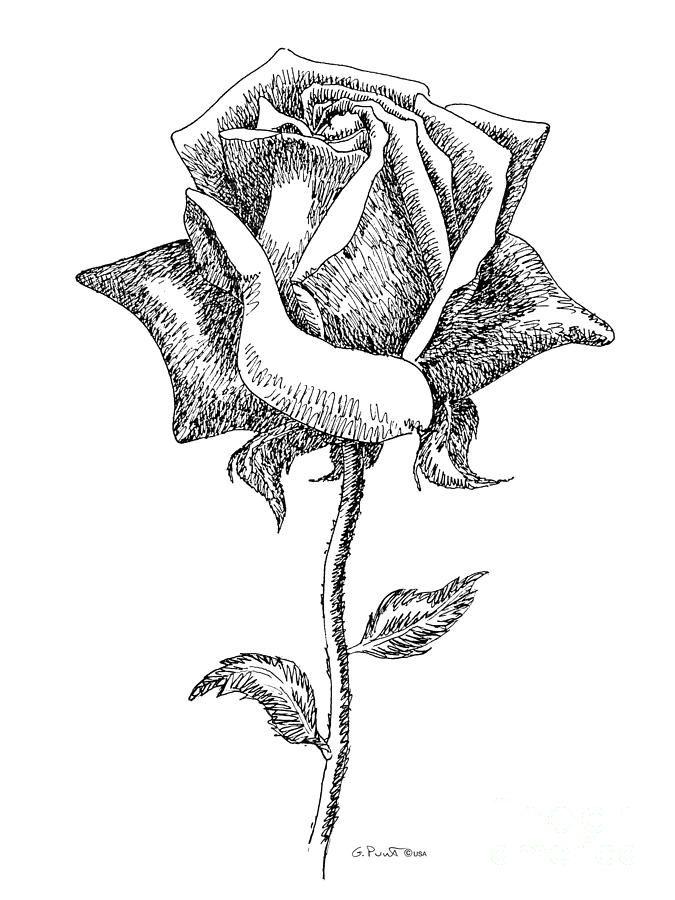 Black and white rose pics rose drawings black white 5 for How to draw a black and white rose