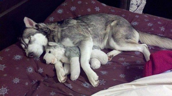 mascotas-durmiendo-con-peluches-10