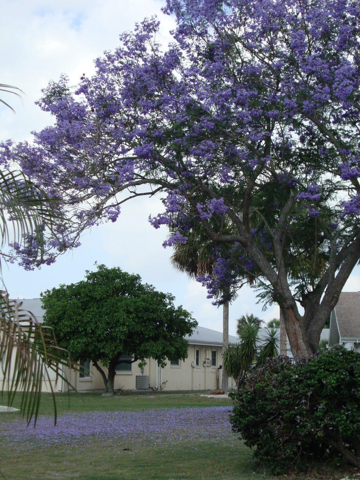Small Jacaranda Tattoo: Orchid Tree, Flowering Trees, Orchids