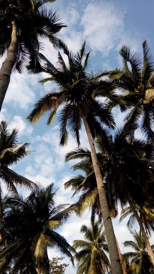 de4b691b057a Coconut tree..