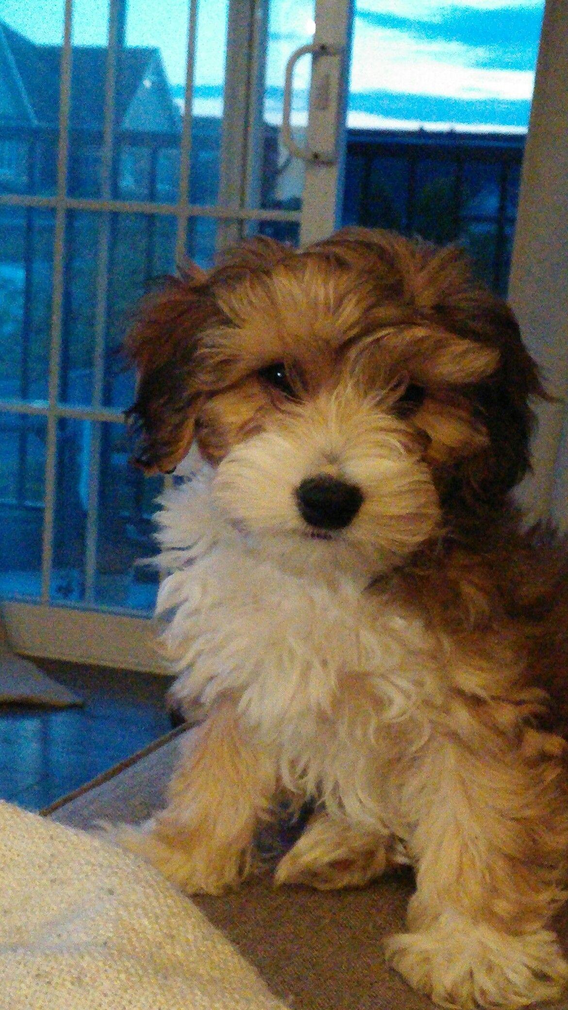 Aussiechon Joey Dog Love Puppies Doggy
