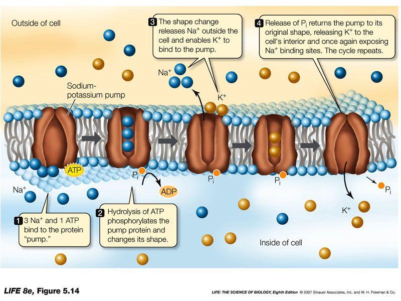 sodium potassium transportation through plasma membrane In plasma membrane the most numerous ion channels are selective for  potassium or chloride ionsfewer channels are available for sodium and  calcium ions.