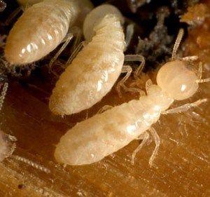 Most Dependable Pest Control Services Sydney Popularity Termite Treatment Termites Termite Control