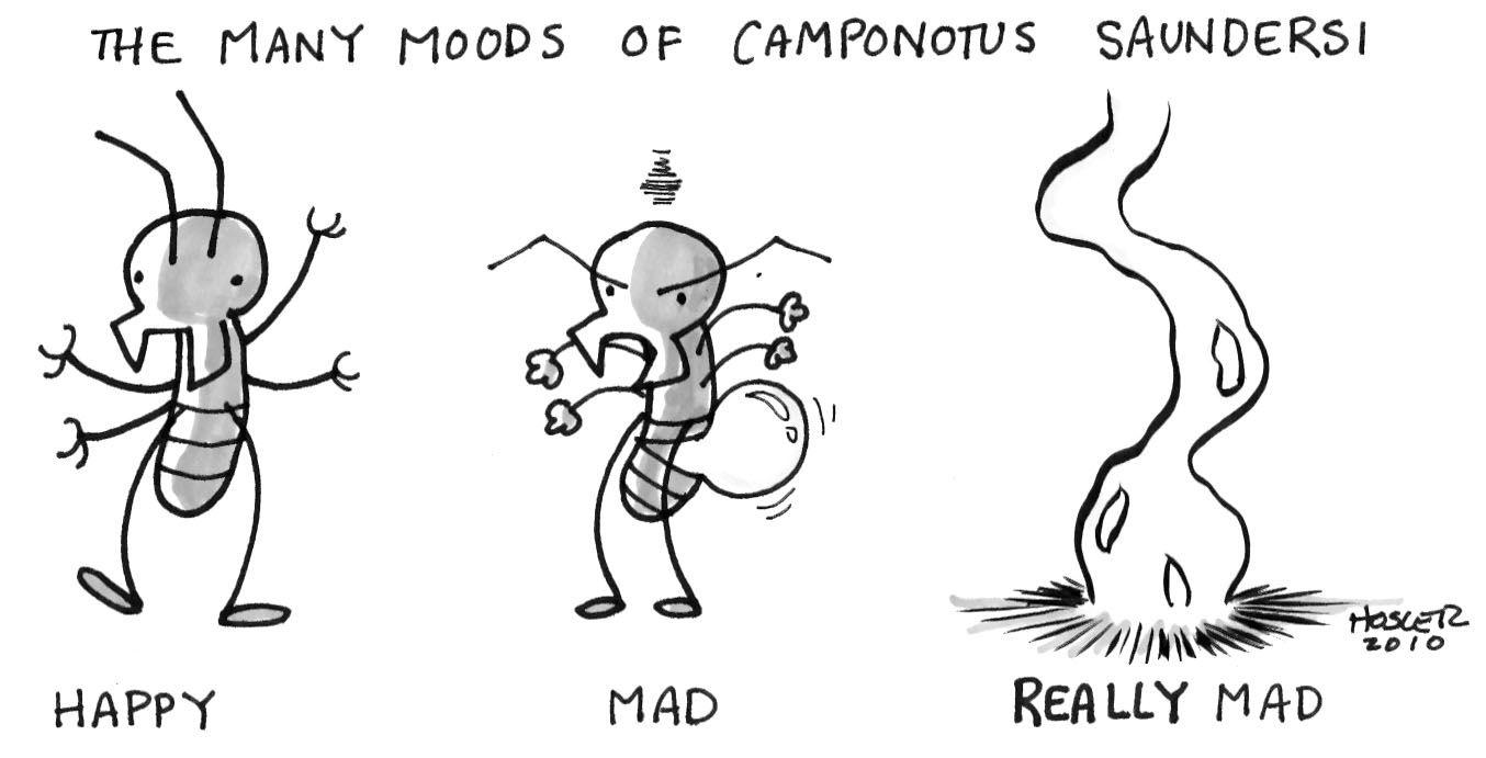 La hormiga carpintero posee enormes glándulas mandibulares llenas de veneno. Ante situaciones críticas de combate, esta hormiga contrae violentamente su abdomen para romper su cuerpo y esparcir veneno en todas direcciones