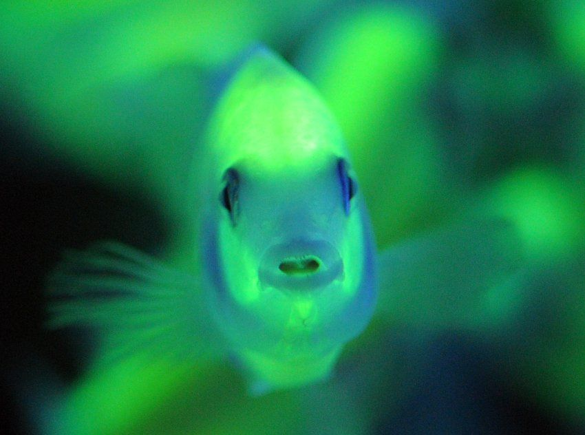 Glow in the dark fish how cool it just makes me want to for Glow in the dark fish tank