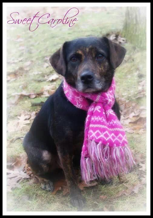 Adopt 1177 // SWEET CAROLINE // 12 (RTO) on Dog pounds