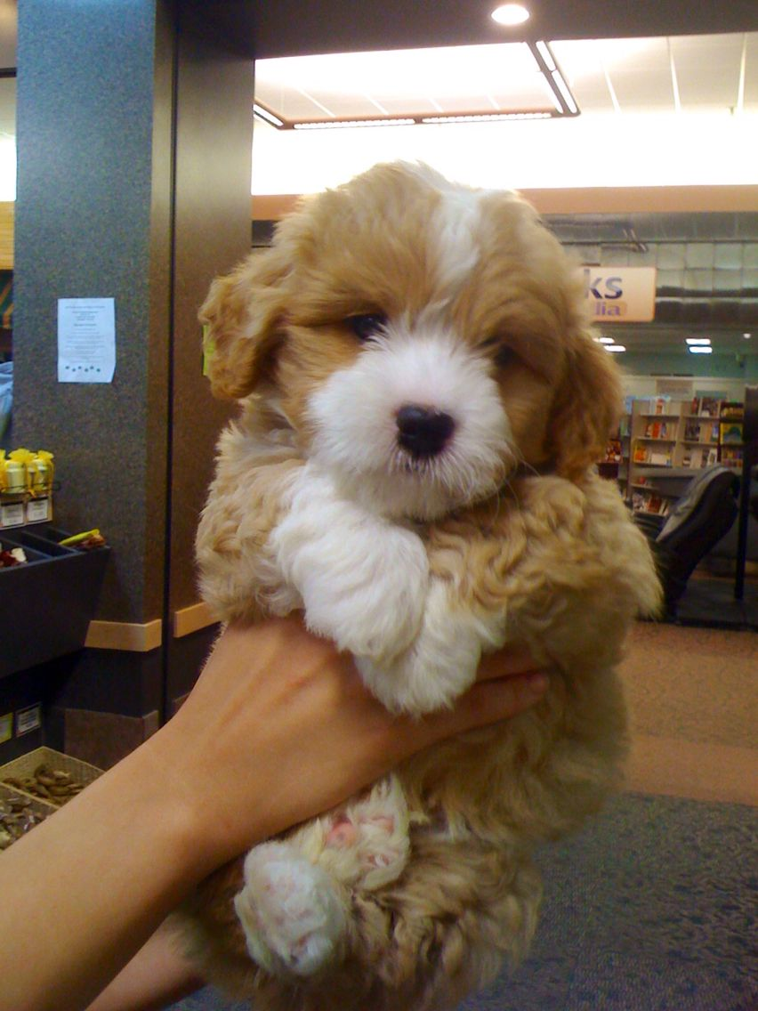 Baby Theo 1 2 Cairn Terrier 1 4 Bichon 1 4 Shih Tzu Cute