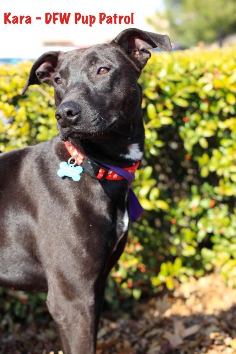 Vizsla Puppies Texas Adoption