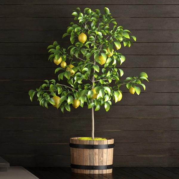 Meyer Lemon Tree In 2020 Lemon Tree From Seed Meyer Lemon Tree Citrus Trees