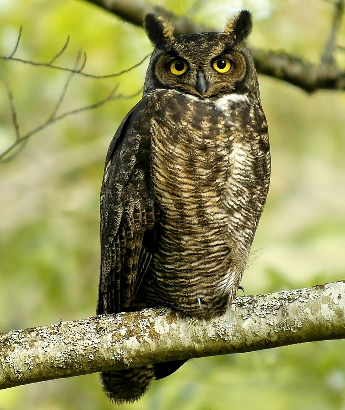Great Horned Owl Bubo Virginianus Coloring PagesOwl