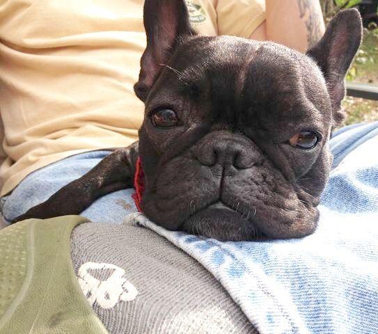 French Bulldog Cute French Bulldog French Bulldog Dog French Bulldog
