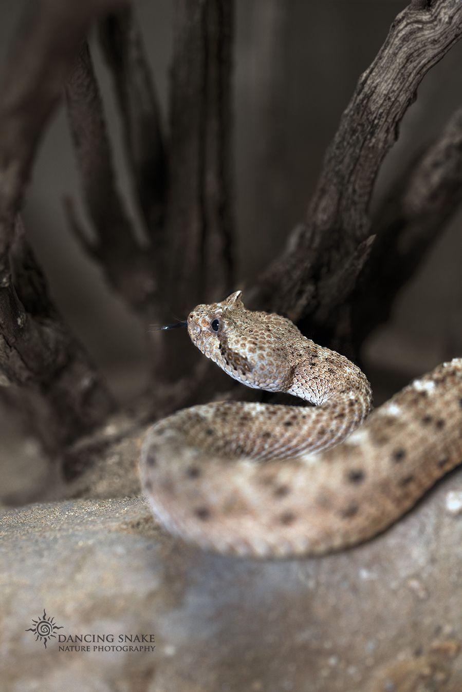 Reptiles Snakes Rattlesnakes Desert Sidewinder One Of The