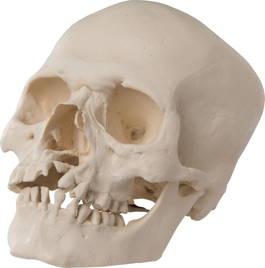 Skull Png Image Skull Png Photo Image