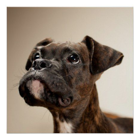 A Brindle Boxer puppy looking up curiously. Poster | Zazzle.com