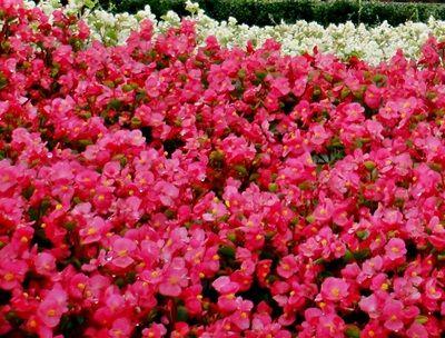 Foto Bunga Euphorbia Pink Di Taman Gambar Bunga October Flowers Euphorbia Begonia