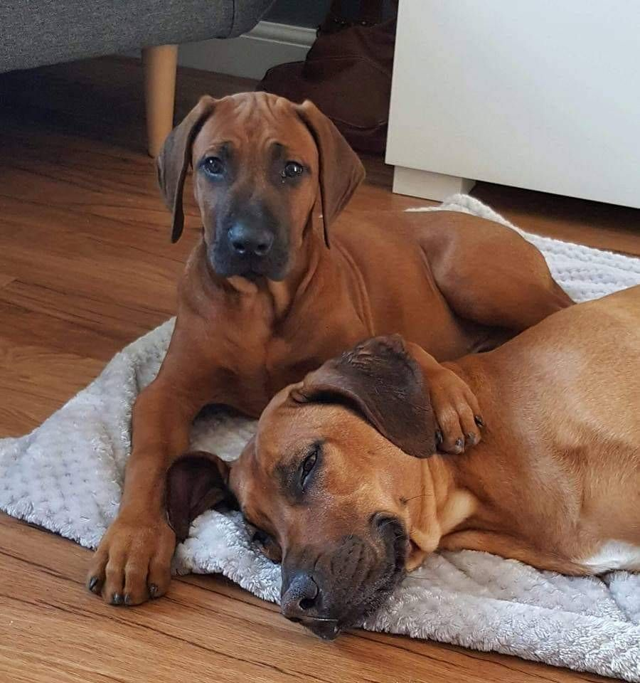 This Is A Photo Study Of The Rhodesian Ridgeback Not All Photos Are Mine But Were Found O Rhodesian Ridgeback Puppies Rhodesian Ridgeback Beautiful Dog Breeds