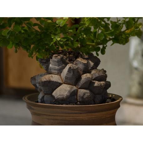 Dioscorea Elephantipes Roslina Zolw Zielony Parapet In 2020 Plants