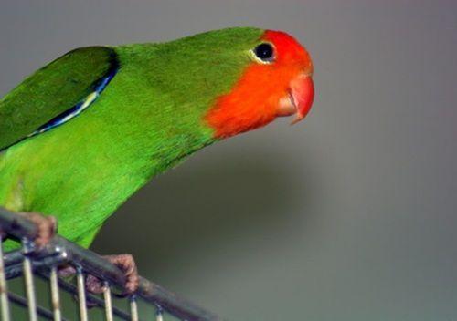 Sikemprus Xyz Jenis Burung Lovebrid Mengenal Macam Macam Burung Jenis Lovebird Memang Perlu Kita Ketahui Sebelum Anda Berencana Membeliny Burung Warna Merah