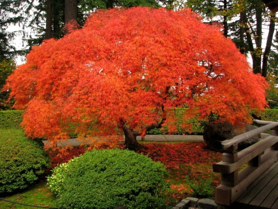 Japanese Maple Choose Wisely And You Only Need One To
