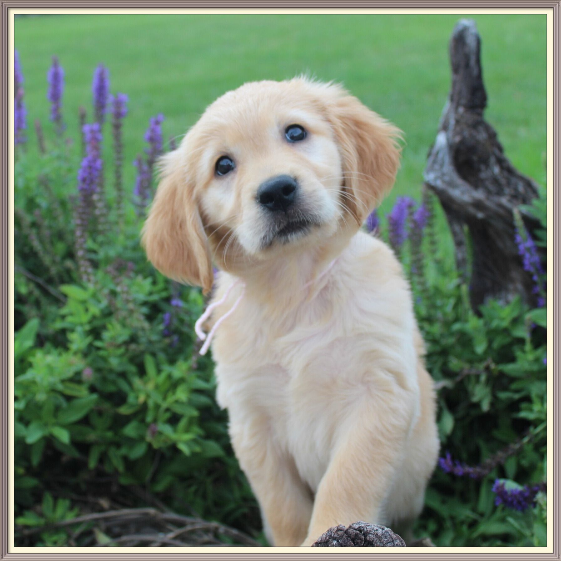 Puppies For Sale Star Creek Kennel Ethical Iowa Dog Breeder