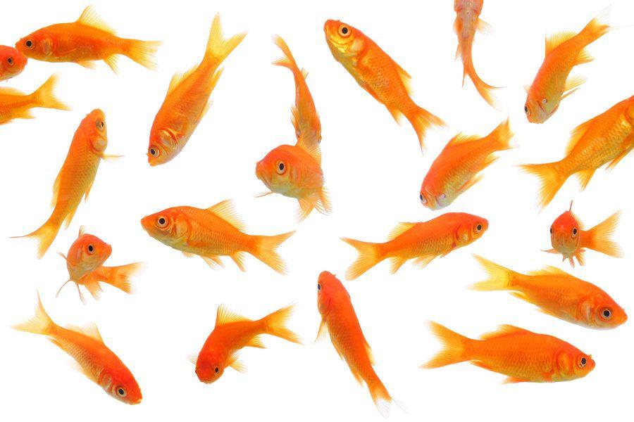 Goldfish Stock By Naveenvverma Deviantart Com Goldfish Fish Painting Weird Fish