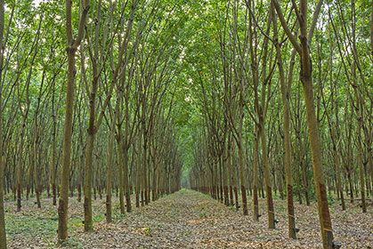 Rubber Trees | Nature Wallpaper Themes | Rubber tree, Tree