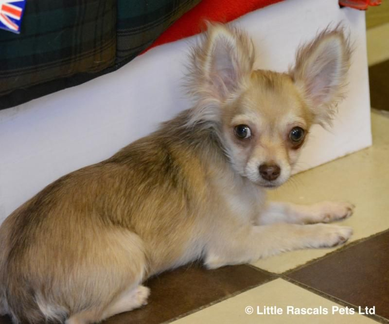 Beautiful long haired Chihuahua little girl Pedigree
