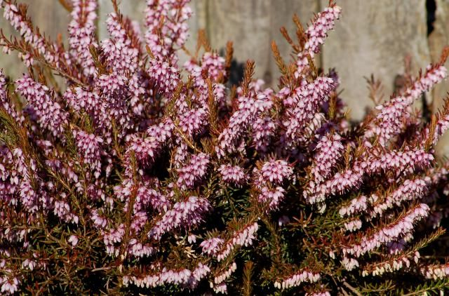 11 Shrubs That Flower In Early Spring With Images Small