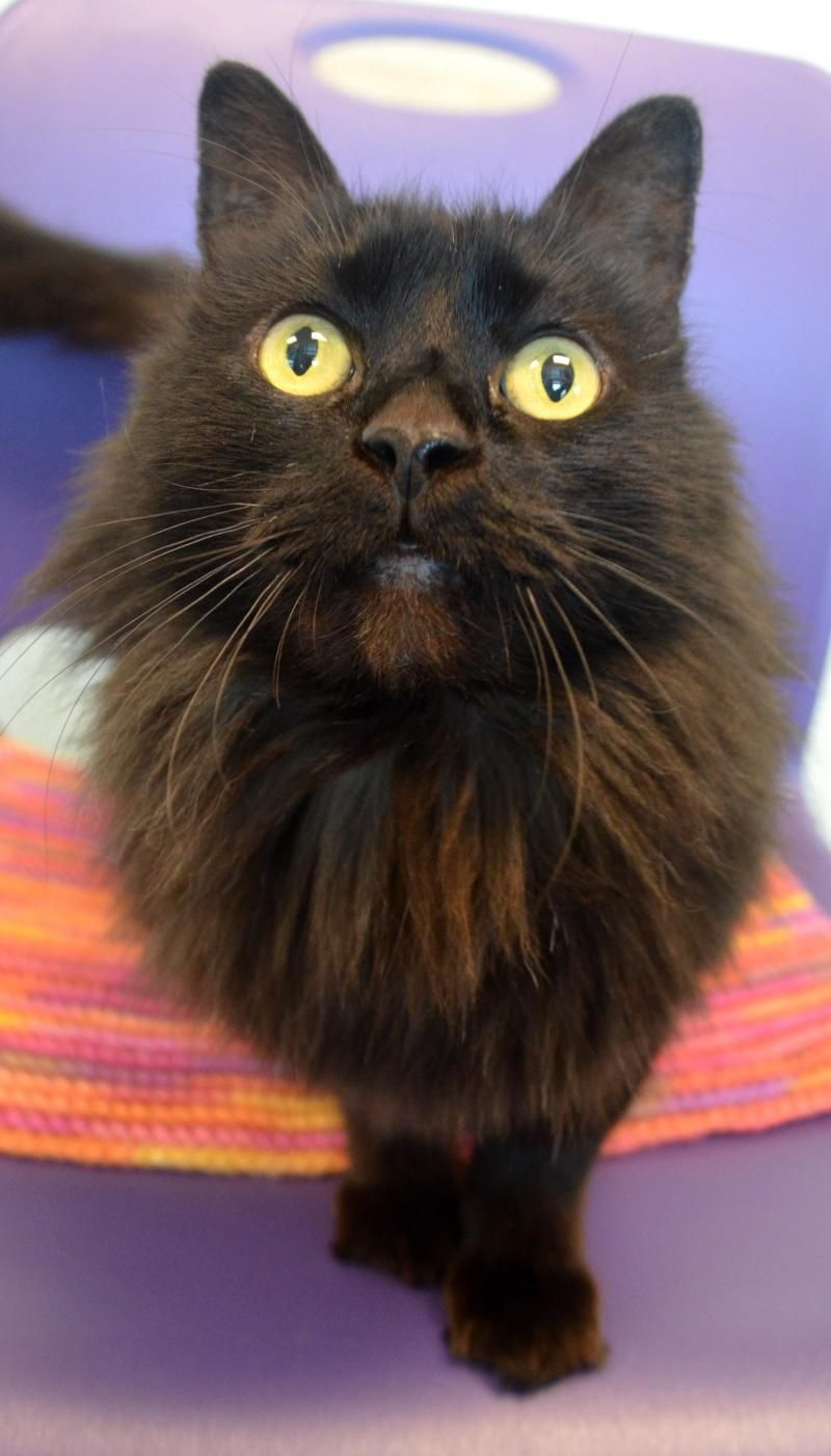 Adopt Angel on Long haired cats, Pet care, Pets