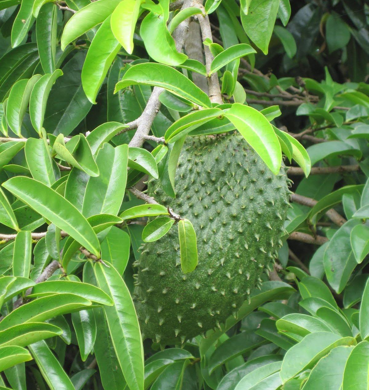 Soursop -Fights Cancer. Said to be 10,000 more times effective than traditional chemotherapy drugs at slowing the growth of cancer cells. Has many other medicinal properties.