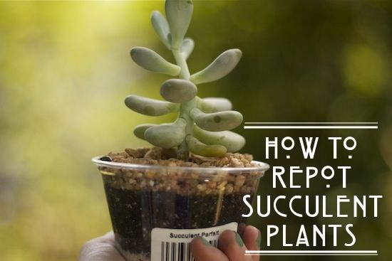 """Repotting succulent plants. Try """"scrunching"""" the roots a little to break up their clumping. This encourages them to grow outward into their new home."""