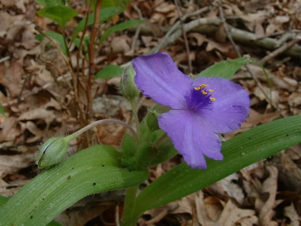 Early Spiderwort, Liberty Knob Road, Scott County, Ind., May 2003.