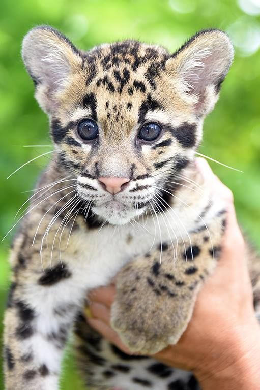Get an update on Zoo Miami's Clouded Leopard cubs at Zooborns.com and at http://www.zooborns.com/zooborns/2014/06/update-zoo-miamis-clouded-leopard-cubs-.html