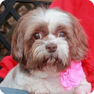 Pin By Marsha Jean On Adopt Don T Shop Shih Tzu Dog Dogs Adoption