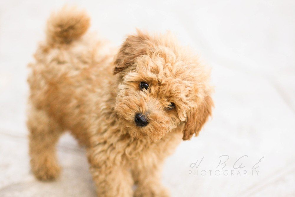 Toy Poodle With Images Poodle Puppy Baby Animals Real Cuddly
