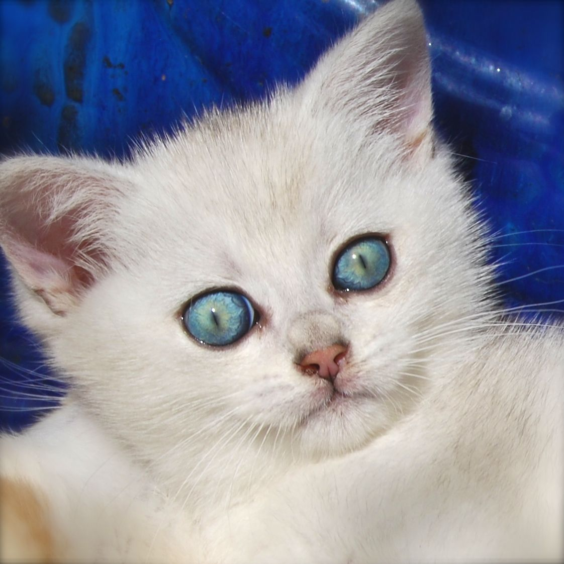 Belle Ayr Silver Wonder Silver Shaded Boy British Shorthair Cats Ayr Cattery