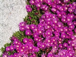 ICE PLANT 'TABLE MOUNTAIN' Delosperma 'John Proffitt' Buy Table Mountain® Ice Plant online. A fast spreading groundcover from South Africa that blooms for most of the growing season. The lustrous, fuchsia-colored flowers are an improvement on Delosperma cooperi. During the winter the leaves remain turgid and green, often tinged with purple. A Plant Select® introduction