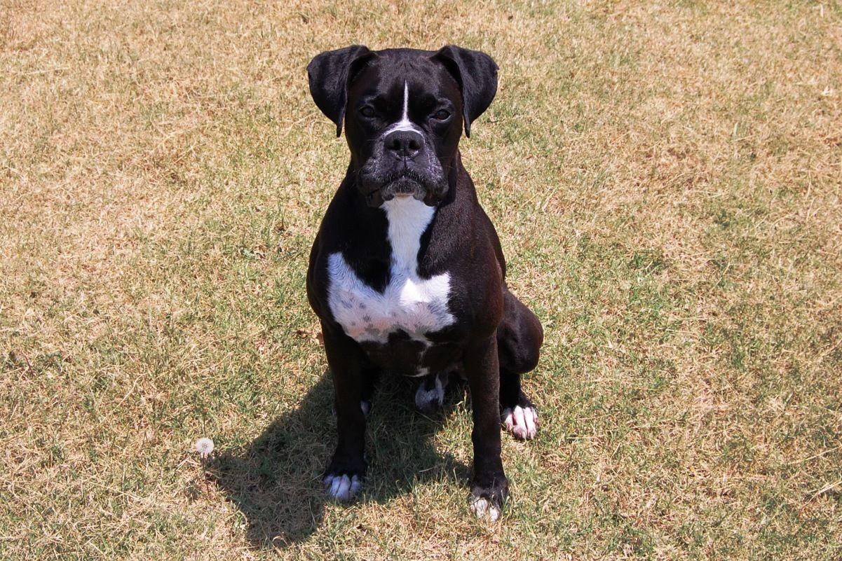Boxer Puppies Black All Black Boxer Puppies Black Boxer Puppies Boxer Breeders Boxer Puppies For Sale