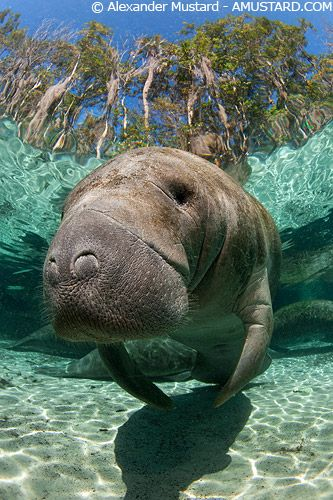 Manatee Playing with Diver - Manatee Facts and Information |Manatees Playing