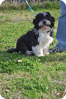 Havanese Lhasa Apso Mix Dog For Adoption In College Station Texas Hope Havanese Dog Cat Havanese Dogs