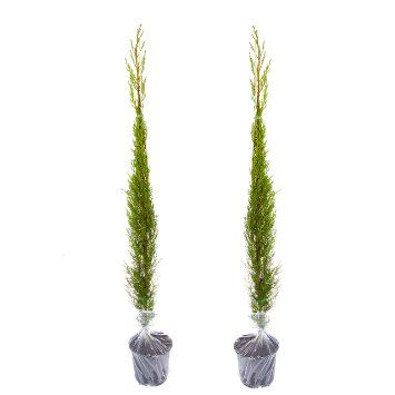 Pair Of Italian Cypress Trees 1.2  1.4m Tall Potted Plants