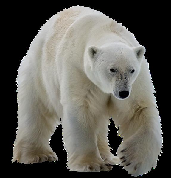 Polar Bear Icon Png Web Icons Png Polar Bear Color Polar Bear Animal Photography Wildlife