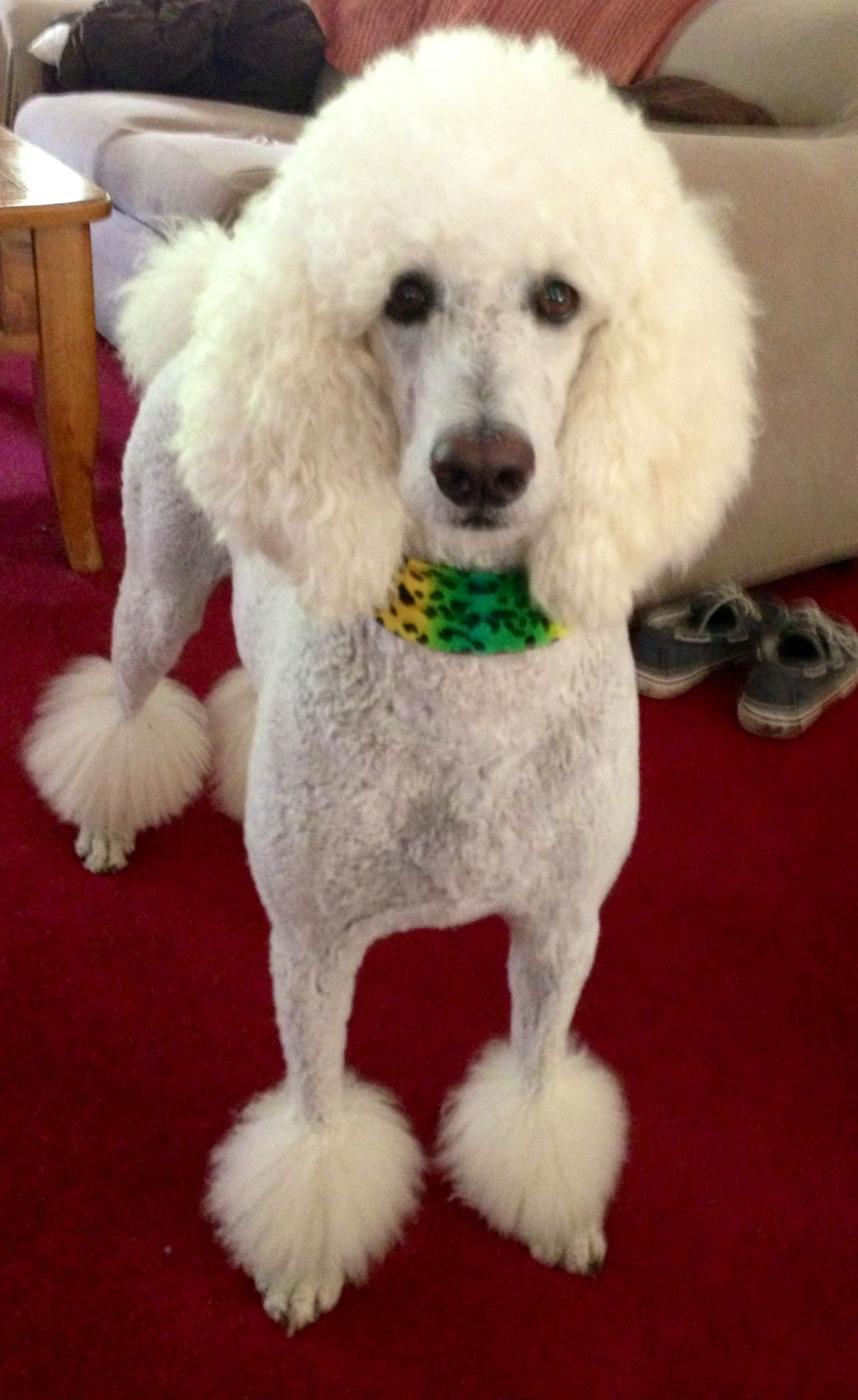 White Standard Poodle Jill Waiting For Mom To Throw The Ball