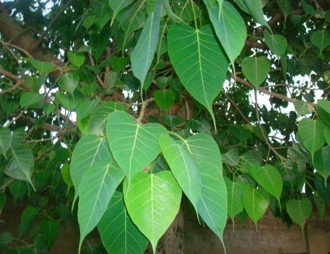 essay on peepal tree in sanskrit