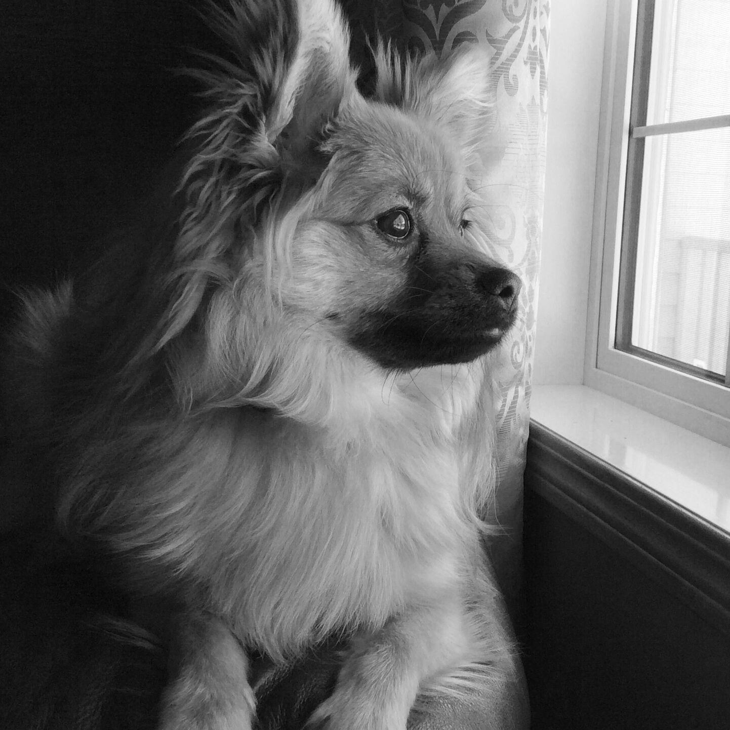 My sweet Pomchi Piper.