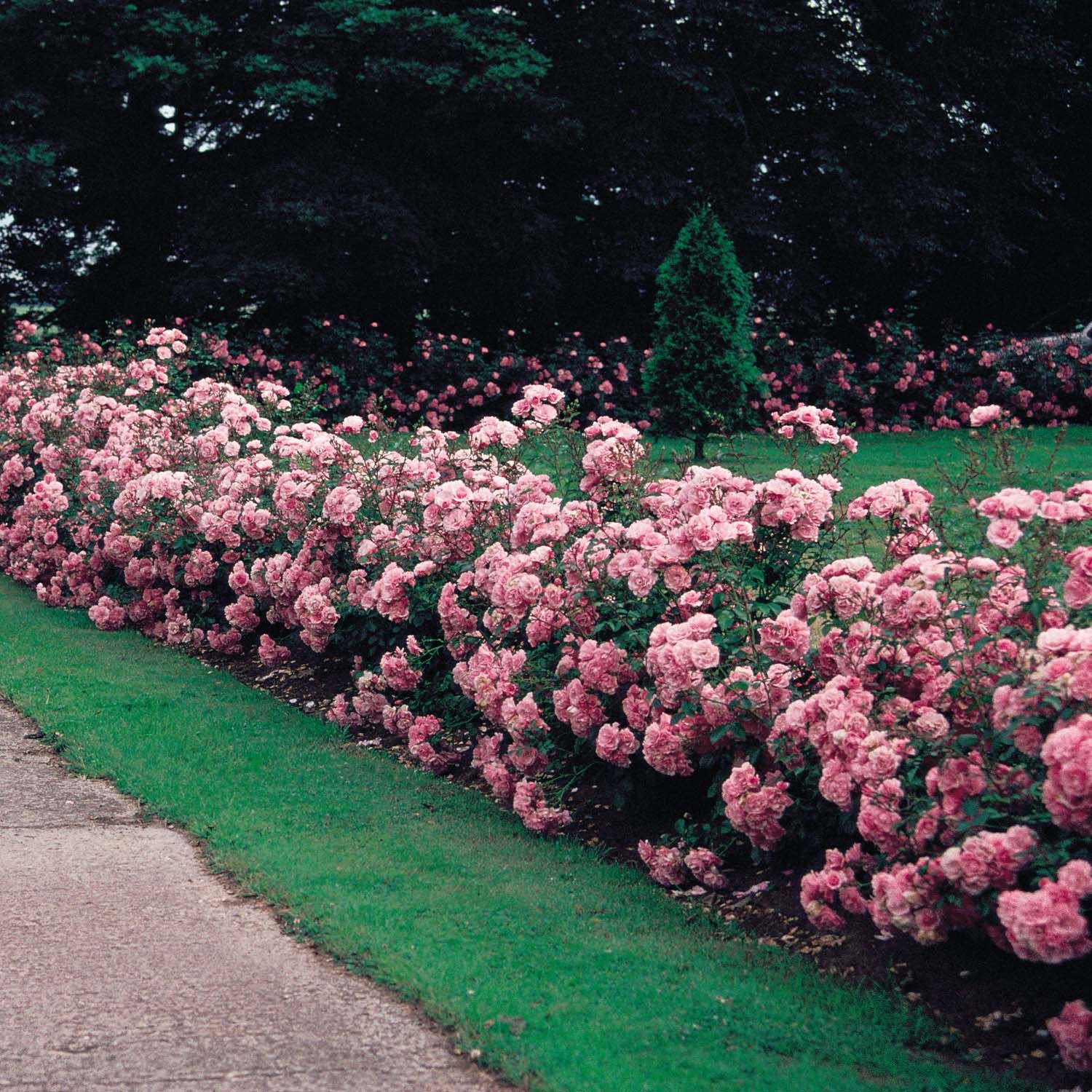 Simple Rose Garden: Before There Were The Easy Care Roses