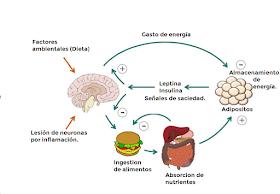 Proceso Fisiologico De La Leptina Insulina Auriculoterapia Para Adelgazar Dietas Hipocaloricas Te Para Bajar De Peso