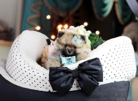 Teacup Puppies #cuteteacuppuppies #cuteteacuppuppies Teacup Puppies #cuteteacuppuppies #cuteteacuppuppies Teacup Puppies #cuteteacuppuppies #cuteteacuppuppies Teacup Puppies #cuteteacuppuppies #cuteteacuppuppies