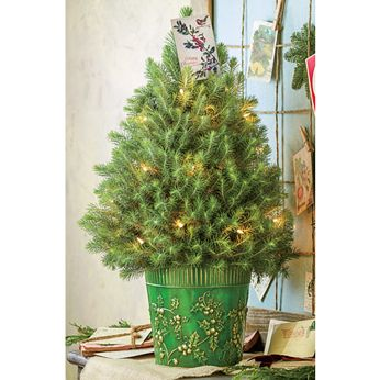 Live Christmas Tree. Stone Pine Two-Gallon Entryway Tree ...